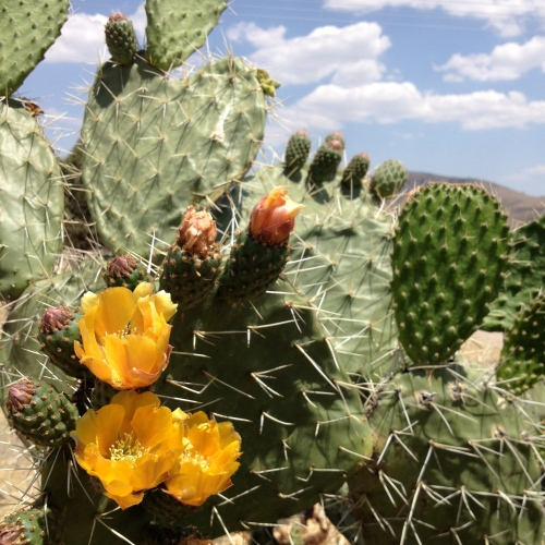 Nopal in Bloom